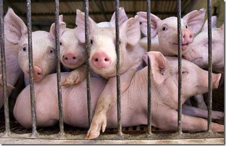 pig farm по русски
